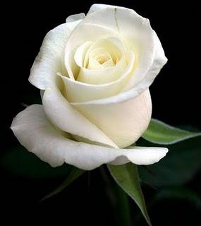 mawar-putih.jpg